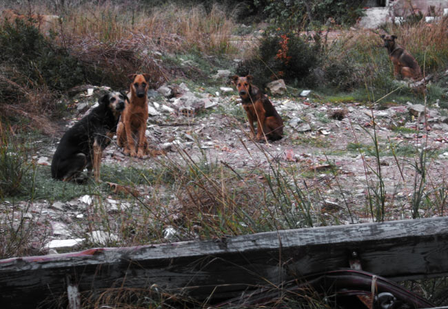 feral dogs in the abandoned village of Sancti Petri