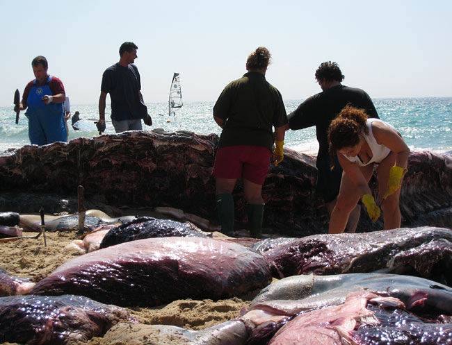 Cutting up the very big fish: 14meters and 20 tons. Very big very dead fish. Balaenoptera physalus, ballena rorcual or fin whale died in Bolonia